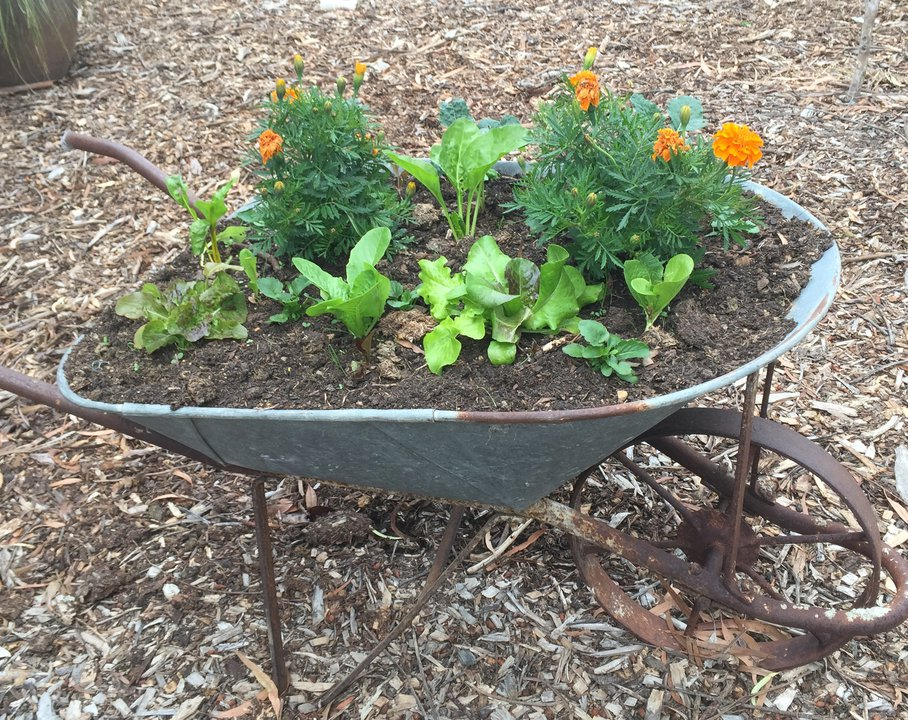 Wheelbarrow garden.JPG