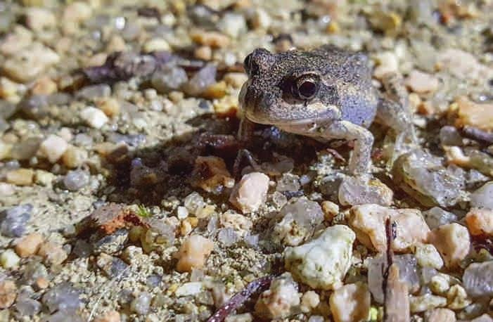 One of the many young Pobblebonk frogs spotted at Nerrina Wetlands