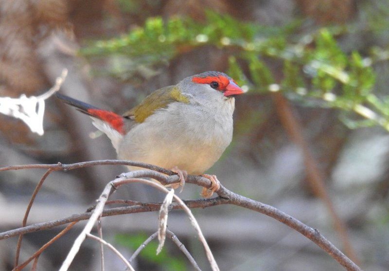 Red-browed Finch on the Yarrowee River trail in Brown Hill, by George Alexopoulos